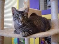 Rafiki is a 1 year old neutered male Domestic Short