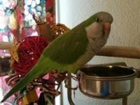 Super-friendly and tame Quaker Parrot. *Affectionate,