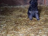 I have a gorgeous blk/red 2 mounts old puppy female