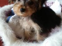 This male Yorkshire Terrier young puppy is small in