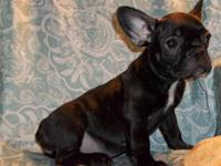 We have five beautiful, French Bulldog puppies for