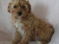 Super nice cavapoo.. family raised and super friendly.