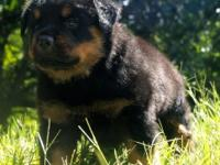 Super pedigree male and female rottweiler puppies