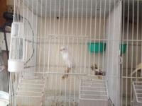 Super russian Canaries for sale by the owner..! Please