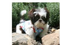 Super Shih tzu puppy is still available for any lovey
