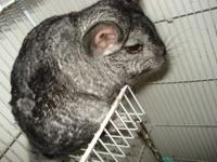 Super sweet 1 year old Male chinchilla + cage and