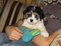 CAVACHON PUPPY *** $600 CASH ONLY *** MALE *** 9 weeks