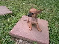 12 week old Chihuahua puppy is ready & looking for his