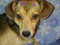Meet Ms. Rose: She is a female Dachshund mix, 1