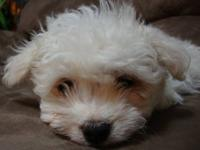 super sweet male Maltese puppy that was born on