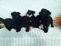 We have four black miniature schnauzer puppies. 2 are