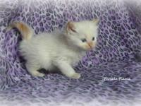 Adorable TICA registered Ragdoll Kittens for sale!