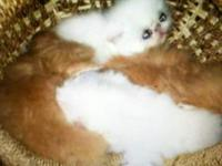 I am currently accepting deposits on Ragdolls kittens