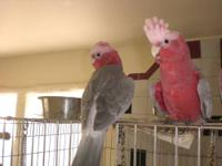 We still have a few Rose Breasted Cockatoo Babies for