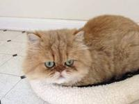 SUPER sweet 4 year old Purebred Persian male to a good