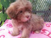 We have a new litter of Shih Poo pups that are