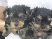I have 2 different litters of Yorkie babies. The first