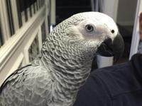 African grey parrot only 4 months old called Ivy