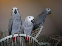 We currently have some super tame African Grey babies
