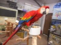 great pet quality scarlet macaw, talks up a storm tame
