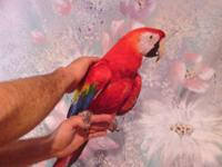 Very Tamed Scarlet Macaw for sale. Very large and