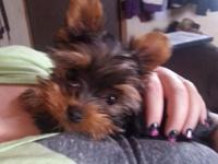 I have an incredibly small 1lb 8oz Akc Yorkie lady that
