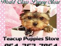 of the yorkie breed. Tiny Yorkie Kisses is local in