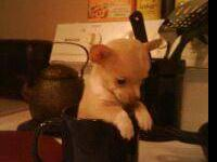 chihuahua- female- 5 mos old- weighs 2.6 lbs- will