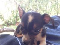 We are rehoming a 8 week old male Chihuahua I do not