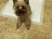 I have a two year old female Yorkie for sale. She is
