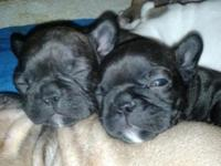 SUPER TINY FRENCH BULLDOG PUPPIES (BLUE CARRIERS)