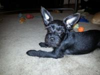 I have one super small miniature schnauzers Puppy (the
