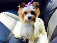 Super tiny female Parti yorkie (white and black with