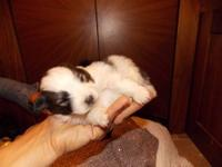 POM POM PUPPIES ARE SUPER TINY 4 WEEKS OLD. COAT WILL