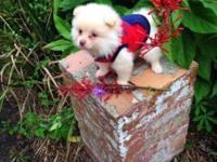 Super Tiny Pomeranian Puppy 100% Pure Breed Fully