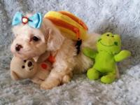 Attractive TEACUP Maltipoo Puppies readily available!