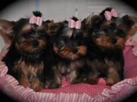 Cute Yorkie puppies for Free Adoption welsh corgi
