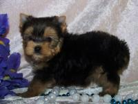 Super Tiny Teacup Yorkie Puppies Ready For Rehoming!!