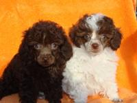 Super Tiny Toy Poodles, will be 4 to 5 Lbs full grown,