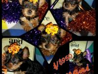 We have 3 Super small extremely cute female yorkies