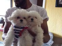 I have 2 pure breed male Maltese 1 toy in the shirt,