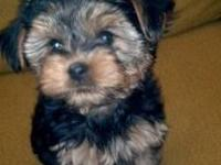 Animal Type: Dogs Breed: yorkies Super adorable Yorkie