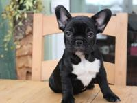 Male and female French Bulldog puppies for adoption.