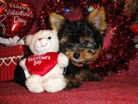 I have two lovely male morkie that are very cute. Both