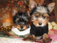 I have two male teacup Yorkie, they are super cute and
