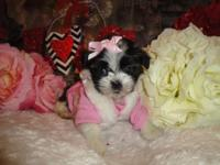 I have 5 beautiful Shorkie Puppies (Shih tzu and Yorkie