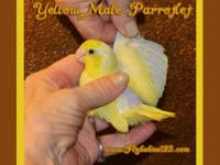 Superb Yellow Baby Parrotlet Boy - $149 - Limit 1 This
