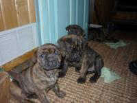 Cane Corso Rottweiler Mix Puppies For Sale Goldenacresdogscom