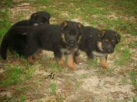 These pups are imports and the dam is Xara V-max and