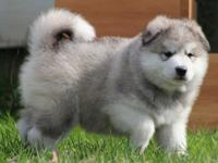 Superior quality Alaskan Malamute puppies and other's